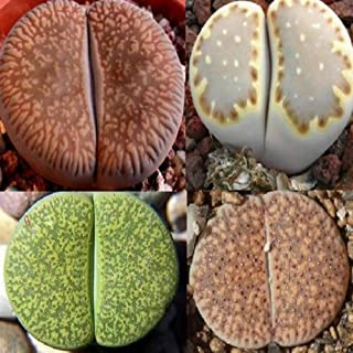 40 Seeds Lithops Veruculosa, Lesliei v Albinica, Aucampiae, Julii v Fulleri #AMR
