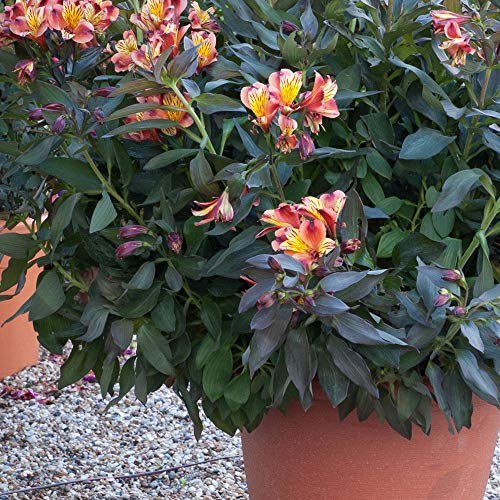 Hardy Garden Perennial Plug Plant Alstroemeria, Cut Flowers, Summer Flowering, Bronze Foliage, Sunny Garden Borders, Alstroemeria Indian Summer 50mm Plug Plant by Thompson & Morgan (1)