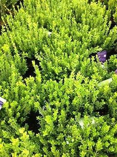Baby Gem Boxwood (Buxus microphylla var. japonica 'Gregem')