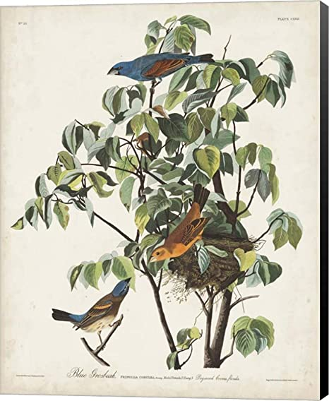 Amazon Com Pl 122 Blue Grosbeak By John James Audubon Canvas Art Wall Picture Museum Wrapped With Black Sides 22 X 28 Inches Posters Prints