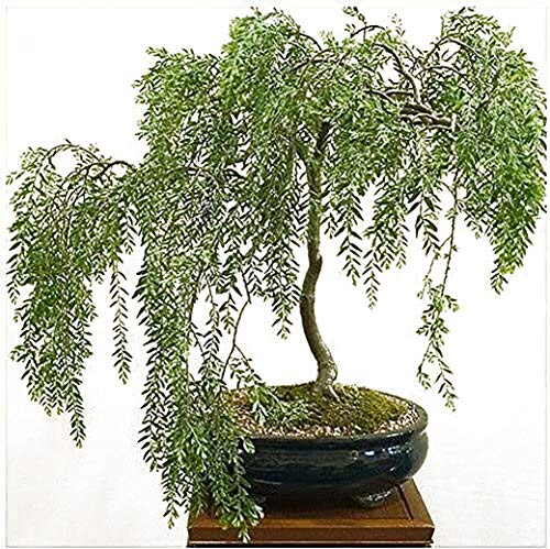 Bonsai Cutting, Fresh Starter! Green Dwarf Weeping Willow Live Indoor Cutting - Thick Trunk Plant Start - Antique Piece for Your Home and Office - Quick Ship All Over USA - Twigz Nursery