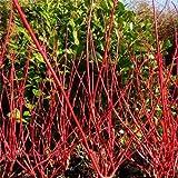 Tree Seeds Online - Cornas Alba- Dogwood. 25 Semillas - Paquete con 10