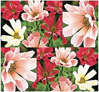 150 x Seashells Cosmos bipinnatus - Sea Shells Cosmos Flower Seeds ~ The Mexican Aster - White, Pink, Crimson SEA Shell Petals - Zone 3-9 - Annual Flowers - by MySeeds.Co