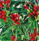 semi per coltivare peperone piccante a mazzetti capsicum annuum peperoni piccanti semi per coltivare agricoli 300 sementi circa alta qualità