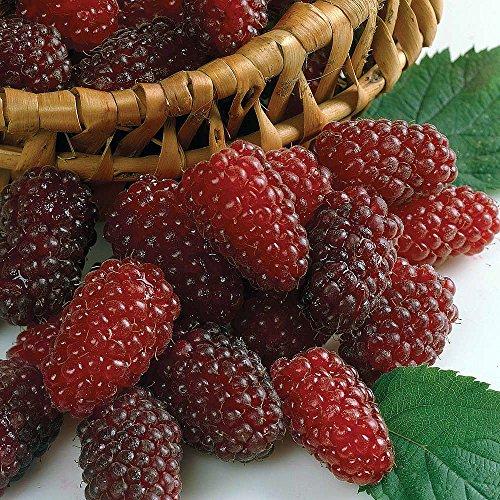 Loganberry Plant - 4' Pot - Looks Like a...