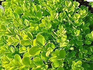 Live Dwarf English Boxwood aka Buxus semp. 'Suffruticosa' Plant Fit 1 Gallon Pot