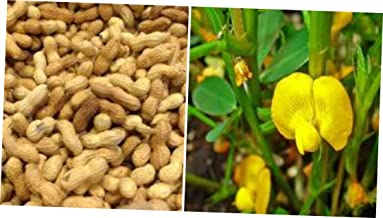 LOJI 10 Perennial Peanut Grass Pinto Ground Cover Yellow Flower Arachis - EB259