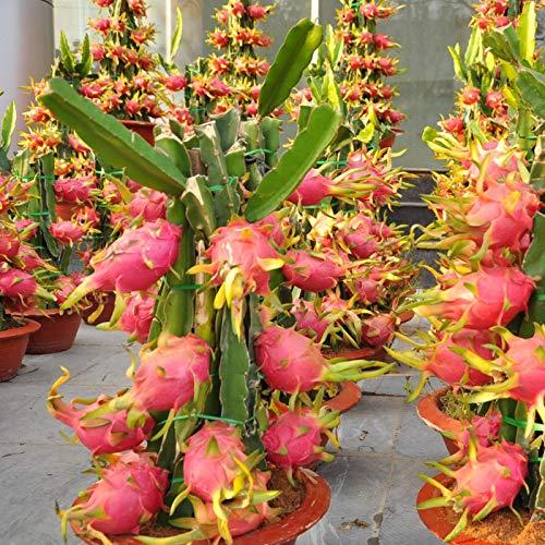 ScoutSeed Weiß: 20pcs Pitaya Seeds Mehrjährige Pflanzen Obstbaum Anti-Aging Drachenfrucht 4 Arten