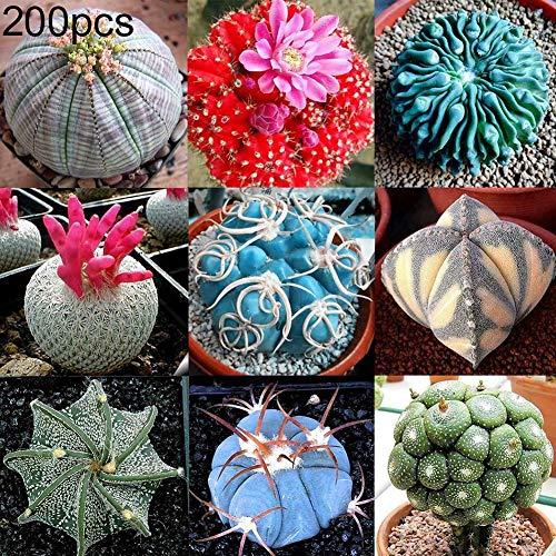 Zhouba Sukkulentensamen, 200 Stück Mix Sukkulenten Samen Kaktus Lithops Pflanze Bonsai, Haus Garten Dekoration