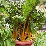 SEEDVALLEY Acelga Brillante Amarillo - Vegetable Seeds