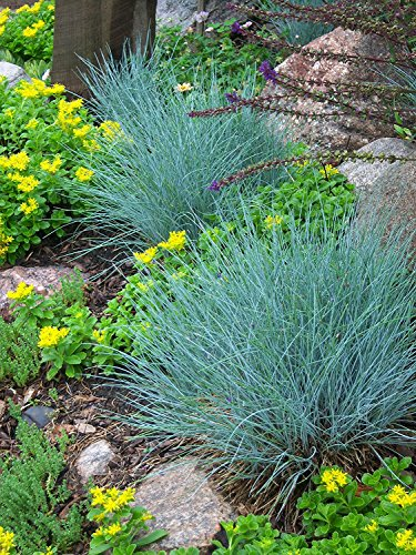 Ornement Herbe?: Fétuque bleue (Fesnea Ovina Glauca) vivaces Graines de germination * haute, frais de graines de *