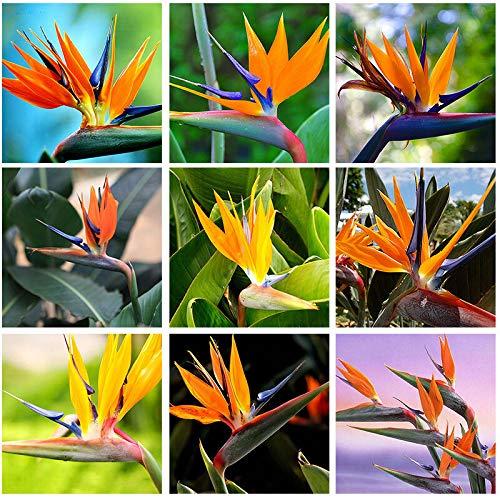 AIMADO sementi giardino - raro sud Africa Strelitzia reginae (Uccello del Paradiso) Mix seme fiore perenne sementi per giardino Indicata per aiuole, bordure e da recidere