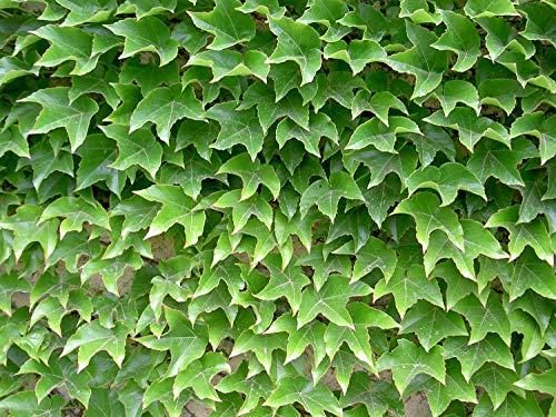 50 Semillas Parra Virgen (Parthenocissus Tricuspidata)