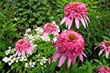 Las semillas de la herencia SwansGreen Raras Blanco Rojo Rosa flor de Bush, Paquete Profesional, 50 semillas/paquete, jardín de flores fragantes fuerte Kk105