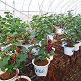 AGROBITS Big Sale!Miniature Grape Vine Bonsai Patio Syrah, Vitis Vinifera, Houseplant, 50 Bonsai, Fruit Bonsai Bonsai Home Fruit Garden: 16