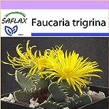 SAFLAX - Kakteen - Echter Tigerrachen - 40 Samen -