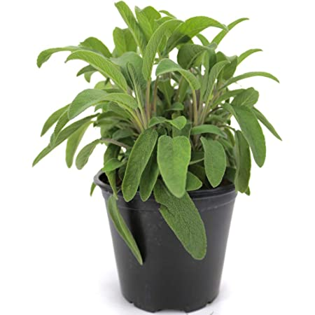 Salvia - Salvia italiana en maceta de 15 cm, planta de hierbas frescas