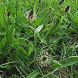 Ribwort Plantain Seeds (Plantago lanceolata) 50+ Medicinal Herb Seeds...