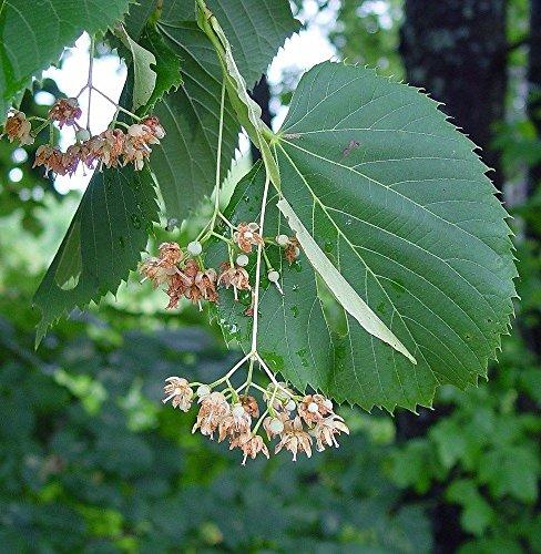 5 Samen von Tilia Americana Amerikanische Linden Or Lindenbaum
