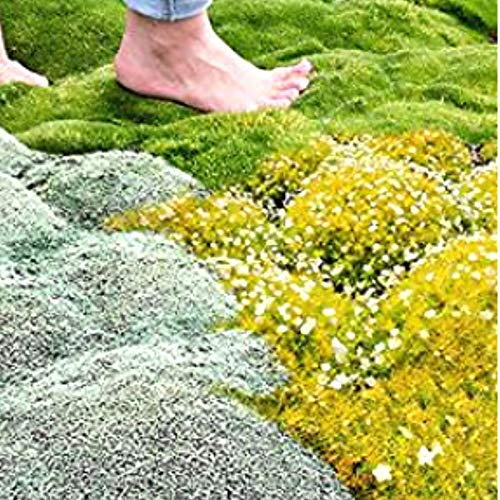 Acecoree Samen- 100 Stück Moossamen mehrjährig Rasen Bodendecker Moos Pflanzen Stern Moosphlox winterhart mehrjährig Moosgarten immergrün Grassamen Moossteinbrech DIY Pflanzen