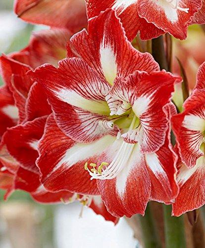 Blumenzwiebeln Ritterstern \'Minerva\' Ø 32/34-1 Stück - Extra große zwiebeln