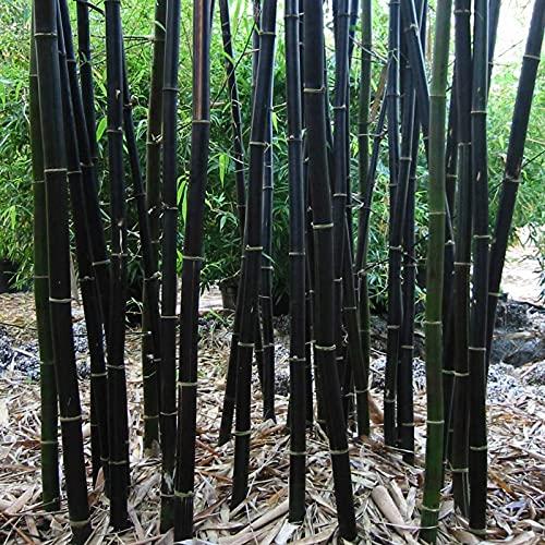 100 Pcs Seeds Rare Black Bamboo Seeds | Non-GMO | Fresh Garden Seeds, Gardeners Choice!