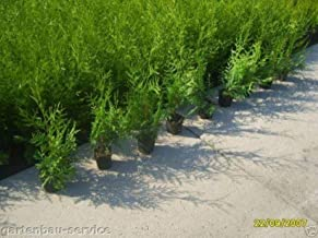 25 Stück Thuja Smaragd Lebensbaum hecke Heckenpflanzen immergrün 20-25 cm