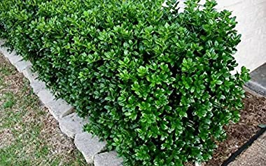 Dwarf Burford Holly Ilex - 10 Live Plants - Evergreen Burfordi Shrub