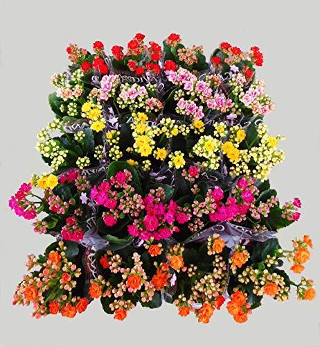 カランコエ 八重 ミックス 20ポットセット 2.5〜3号苗 花苗 セット販売 まとめ売り 花鉢 贈答 イベント 景品