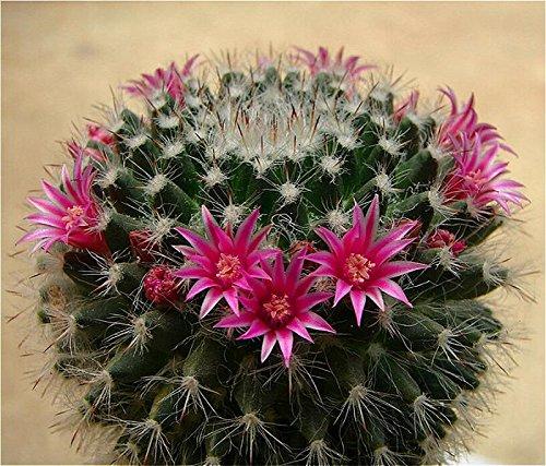 100 Pcs mixtes Cactus Graines Plantes d'intérieur Multifarious d'ornement semences rares plantes grasses fleurs Les graines peuvent purifient l'air Pour Jardin Deep Blue