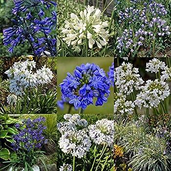【宿根草】アガパンサス 品種見計らい5種5株 5号(15cm)ポット ※今期開花終了植え