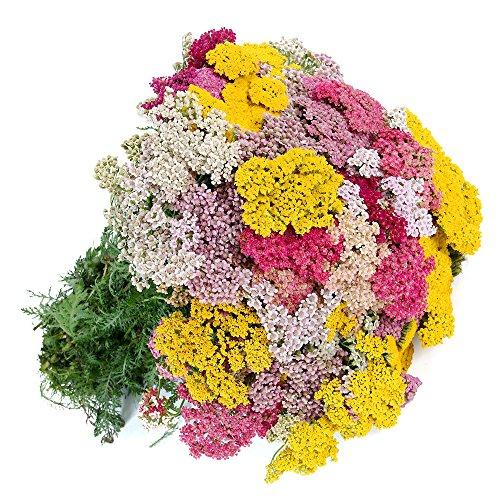 Milenrama común - mezcla de variedad - 1860 semillas