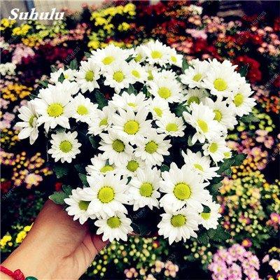 Grosses soldes! 50 Pcs Daisy Graines de fleurs crème glacée parfum de fleurs en pot Chrysanthemum jardin Décoration Bonsai Graines de fleurs 14