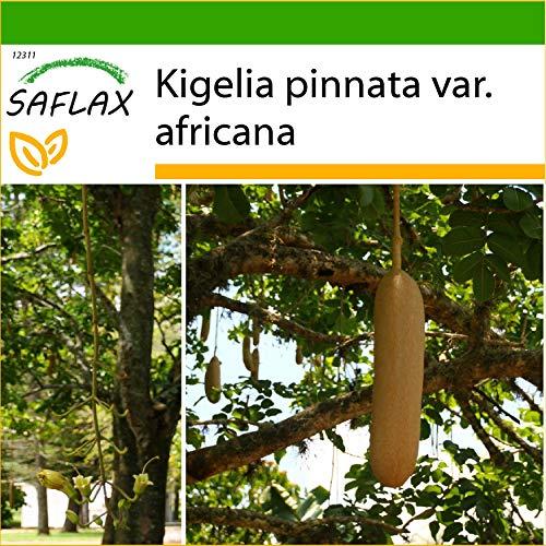 SAFLAX - Leberwurstbaum - 10 Samen - Mit keimfreiem Anzuchtsubstrat - Kigelia pinnata