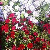 Fnho Raras Semillas de Hierba,Planta Maceta Semillas,Semillas de Flores en macetas, Semillas Cortas de Gloria de la mañana-Color Mezclado_100 Grano