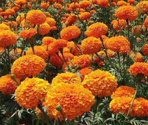 Caléndula naranja, semillas de flores en maceta Tagetes erecta, semillas de cempasúchil, plantas de balcón y de la flor 30 semillas / GF41 Paquete