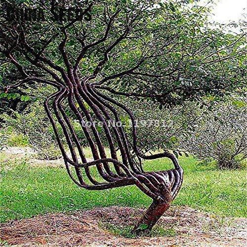 Portal Cool Samen Paket: Armee-Grün: 30Pcs / Pack-Rare Garten-Stuhl Baum Bonsai AußenzierSaat Baum Bonsai