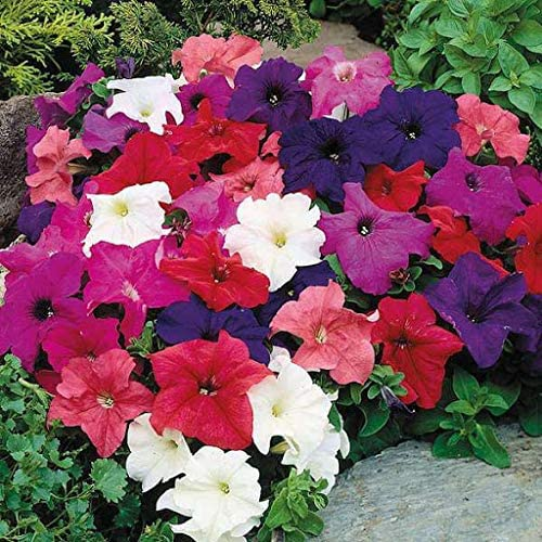 Elwyn Petunia Seeds Outlet sale feature Flower OFFicial site