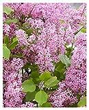 Syringa Flowerfest Pink Dwarf lilac