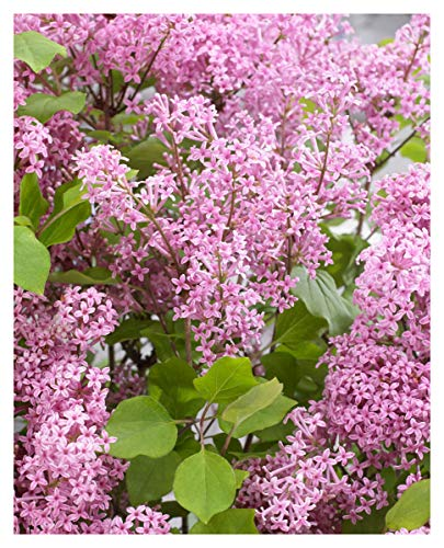 Syringa Flowerfest Pink