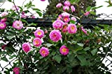100 Pcs Climbing Colorful Rose Flowers Seeds for Garden Home Balcony Fences Yard Decoration Flowers Plants (Angela Rose Seeds)