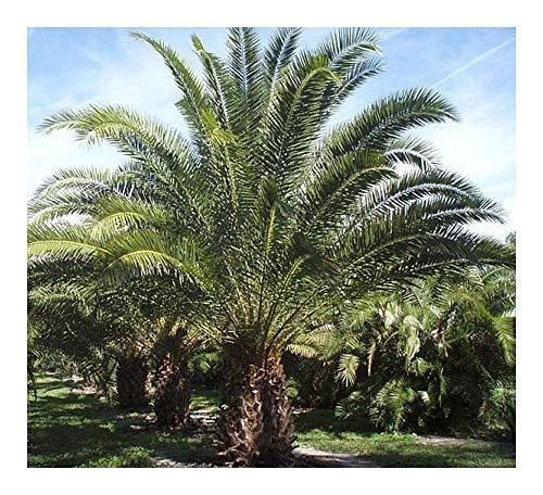 SANHOC Samen-Paket: Phoenix reclinata - Dattelpalme - 5 seedsSEED