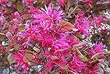 CSNCH Heirloom 5 Seeds Loropetalum Chinense Var. Rubrum 'Daruma' Exotic Bonsai Rare Plant Seed