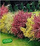"BALDUR-Garten Ginster-Hecke""Tricolor"""