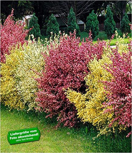 BALDUR Garten Ginster-Hecke Tricolor, 3 Pflanzen Cytisus praecox winterhart Heckenpflanzen