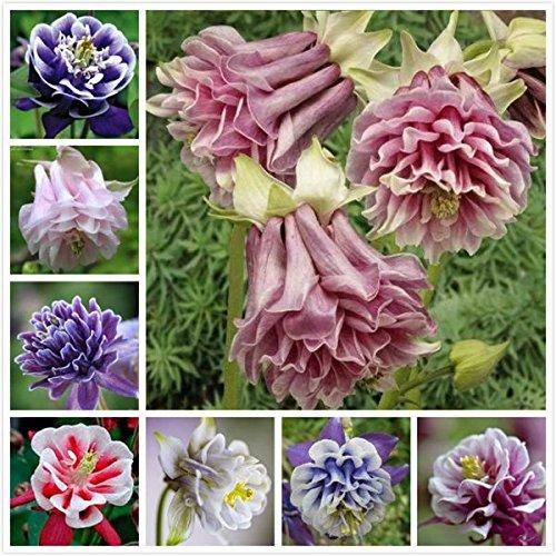 Columbine européen Seeds- Aquilegia vulgaris graines rares de fleurs de bonsaïs pour le jardin à la maison Les plantes vivaces. couleur mélangée 100seeds/sac mélangé