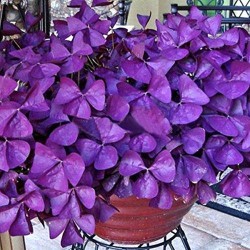 10Pcs Shamrock- Oxalis Triangularis Bulbs Easy Grow Perennial Leaf Flowers Seeds(Purple oxalis bulbs)