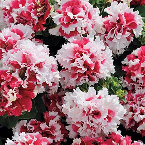 100pcs Bonsai Petunia pétales Graines couleurs mélangées Double Petunia Hybrid Seeds avec pack professionnel jardin décoration florale bleu