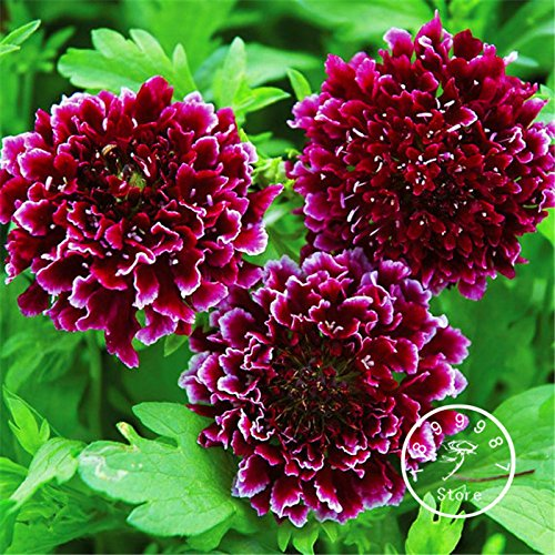 100 graines / Paquet Time-Limit !! graines Scabiosa Pincushion fleurs / Graines vivaces Jardin Décoration Bonsai Fleur