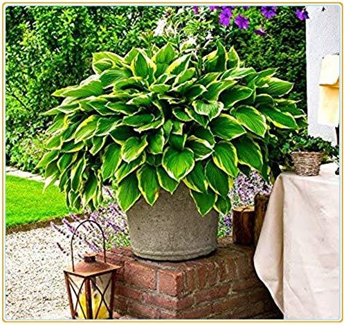 Hosta pianta Pianta da esterno Piante erbacee perenni,(Senza semi), preziose e adorabili piante per la coltivazione del suolo con nucleo di fiori in serre-5 Rizoma